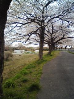 見沼代用水(<br />  徒歩5分)<br />  の桜