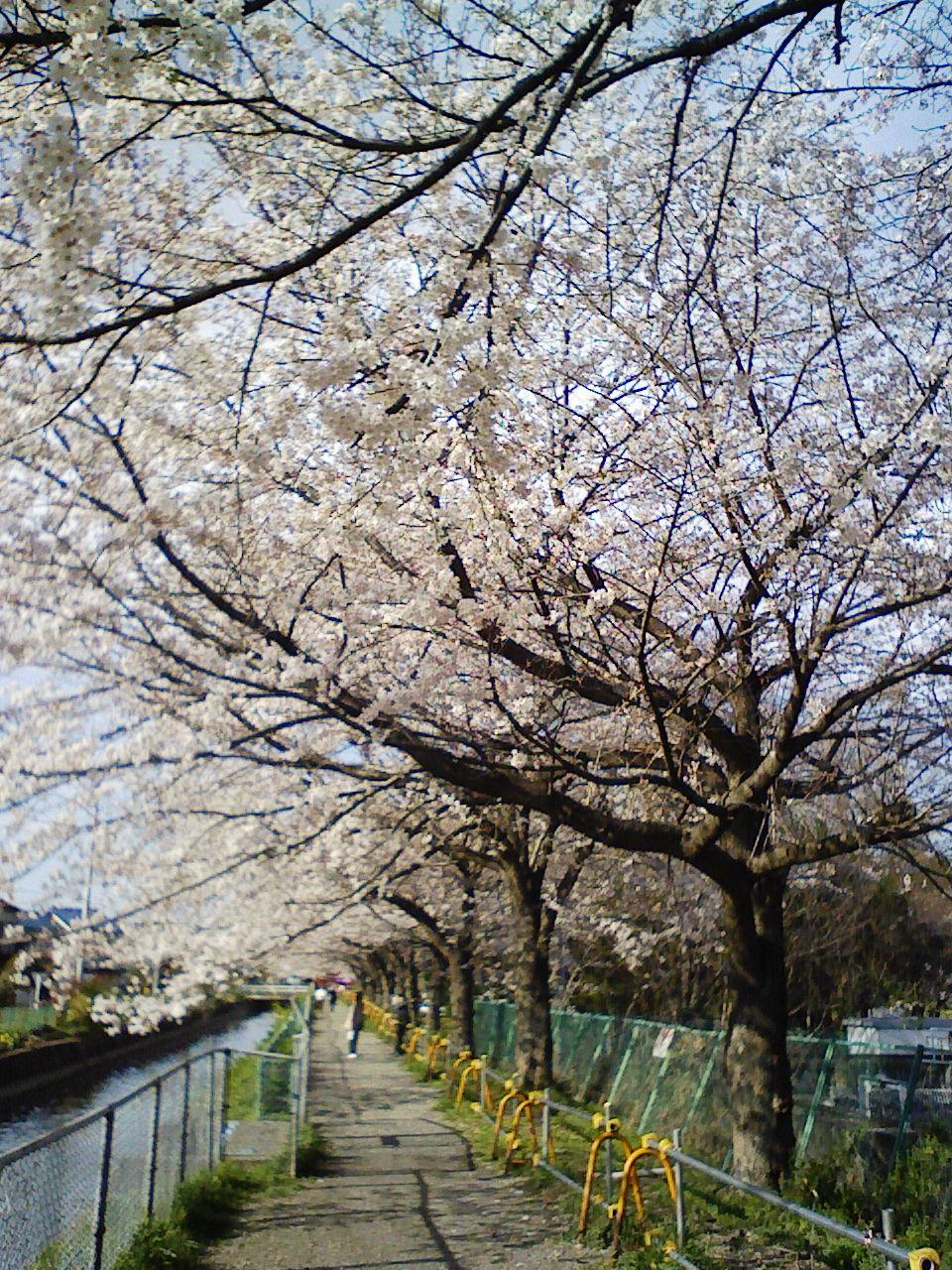 見沼代用水の桜情報